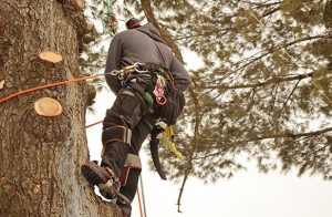 Tree Trimming in Corral